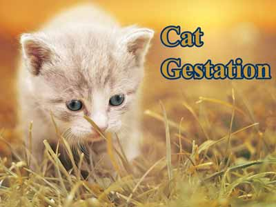 Cat gestation information
