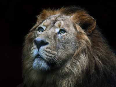 A big cat: An African lion