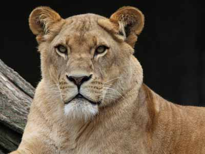 Another big cat: An African lioness
