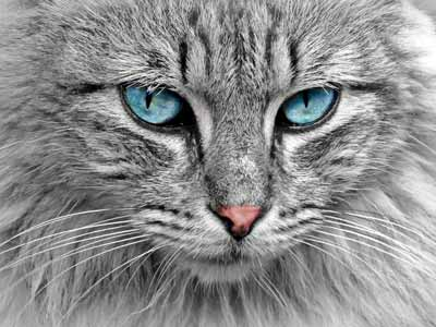 A unique, beautiful blue-eyed cat with an unknown name.