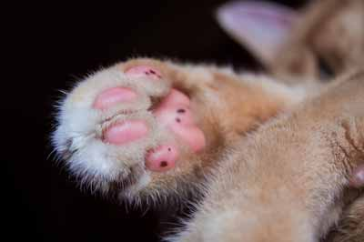 Cat facts about their paws.