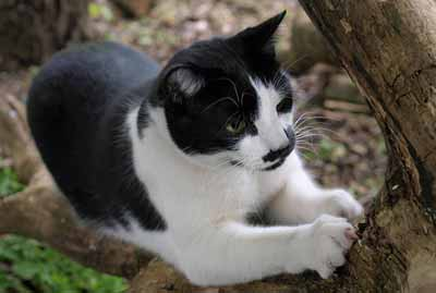 A black and white cat scratching its claws.