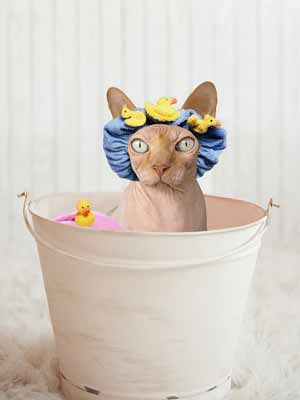 A hairless cat in a shower cap