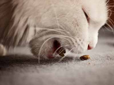 A whiskered cat eating off of the floor