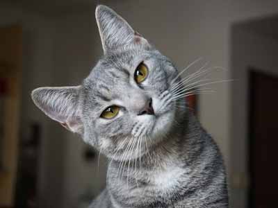 A gray tabby cat with pretty eyes and long whiskers