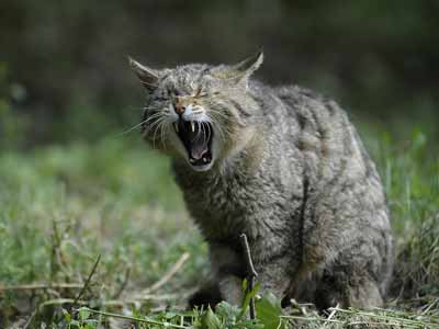 A yawning cat illustrates facts about crepuscular cats.