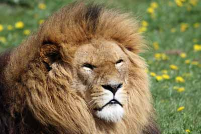 "A male lion, known as one of the ""big cats."""