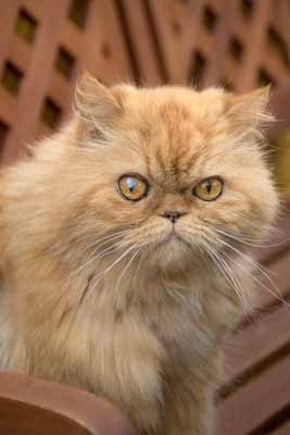 A red Persian cat