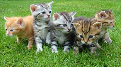 Five kittens on a green lawn