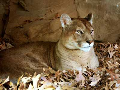 A puma, the namesake of the Ford Puma