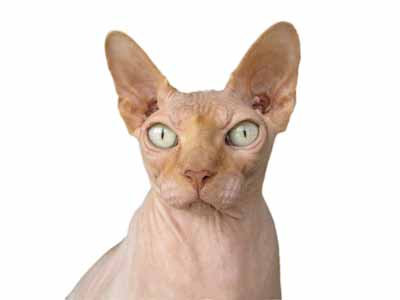 A Sphinx cat